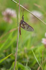 HolderMayfly (Ephemera vulgata) 2