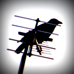 Crow on aerial