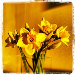 Daffodils in the evening sun http://www.walksandwalking.com