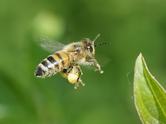 Western Honey Bee - Photo (c) bathyporeia, some rights reserved (CC BY-NC-ND)