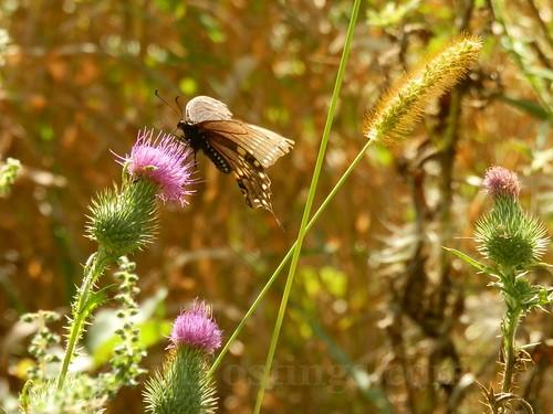 black swallowtail 2