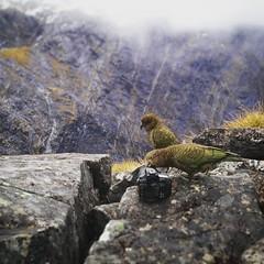 Cheeky Kea trying to take a picture on my precious @nikonaustralia #d810. #DarranMountains #NewZealand  #nzmustdo @purenewzealand