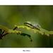 Hyla Arborea... by Canconio59