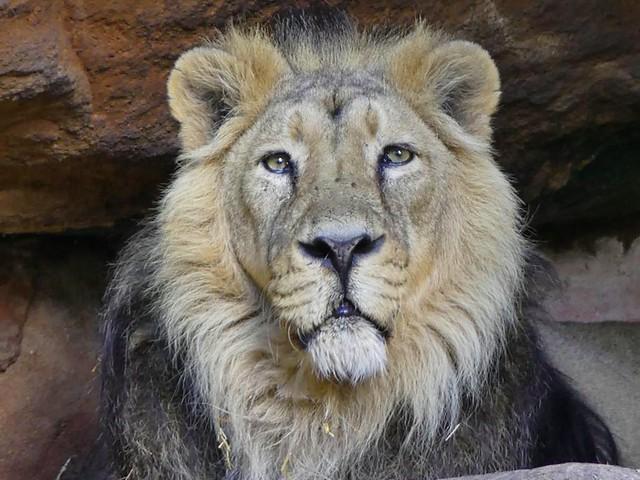 Asiatischer Löwe Thar, Nürnberg