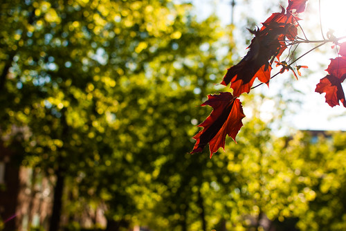 Late afternoon spring leaves in the sunshine - #136/365 by PJMixer