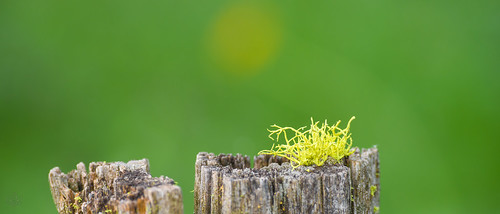 green oregon weathered lichen fencepost fav10 moiser carrollrd diggerrd