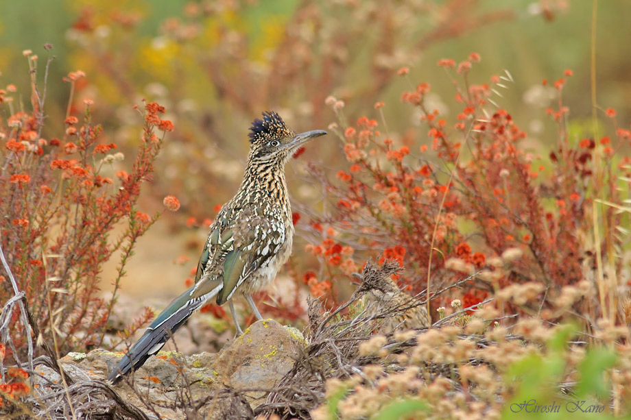 Greater Roadrunner 050513-05