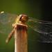 Dragonfly smile... by laszlofromhalifax