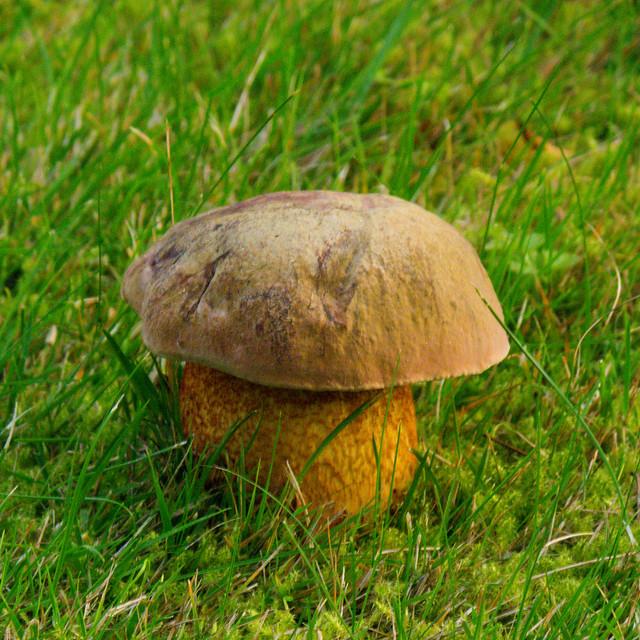 Bolete on a lawn