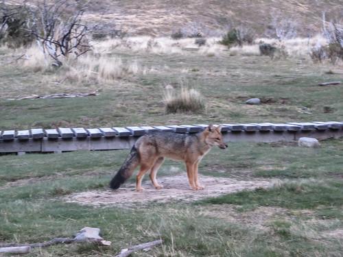 Torres del Paine: trek du W. Jour 3: un gentil renard s'aventure au camping Paine Grande.