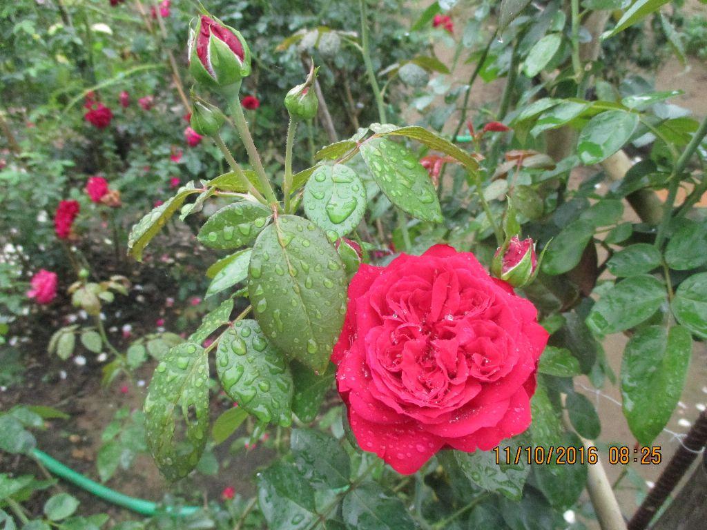 Hoa hồng leo Red Eden thường cho hoa thành từng chùm hoa từ 4-6 bông hoa mỗi khi nở