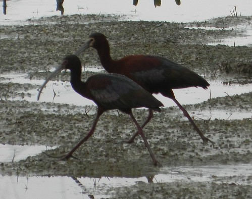 White-faced Ibises