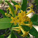 Green Cestrum - Photo (c) Dick Culbert, some rights reserved (CC BY)