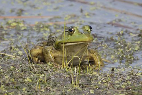 ohio frog waynesville americanbullfrog springvalleywildlife