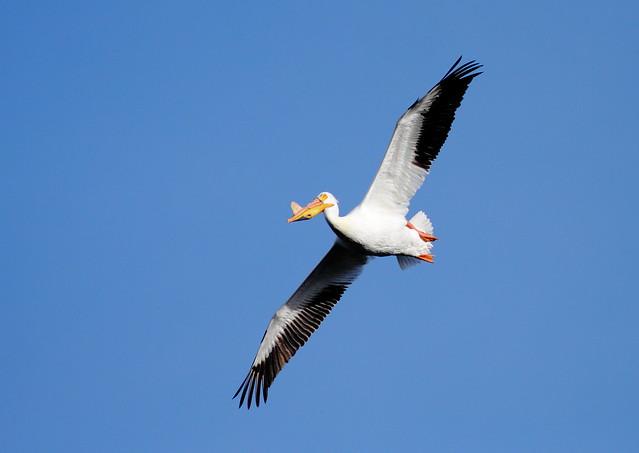 American White Pelican (Breeding)