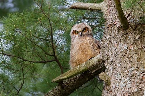 Owlet, Great Horned Owl, Ottawa, Canada