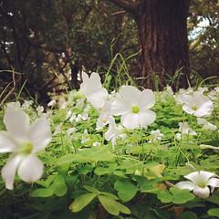 Forest whites