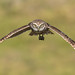 Burrowing Owl by PeterBrannon