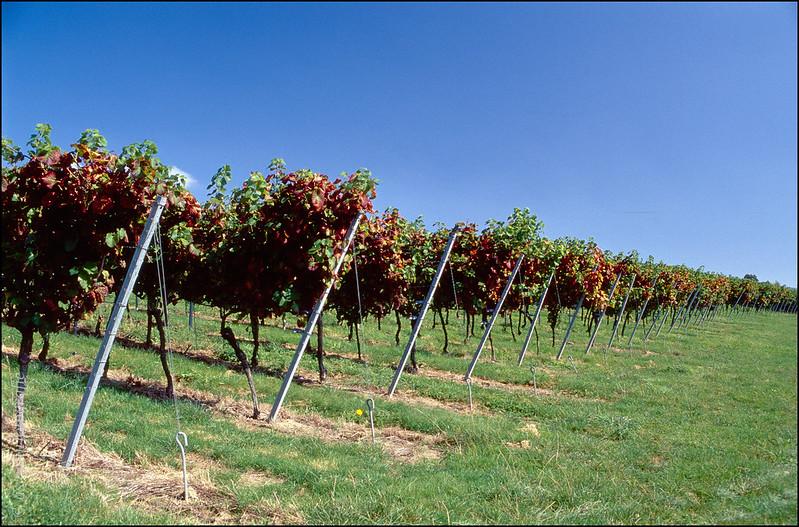 Weinstöcke am Bodensee