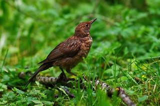 Чорний дрозд. Blackbird. (Turdus merula)