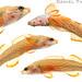 Redline Darters (Etheostoma rufilineatus) by Daniel S Thompson