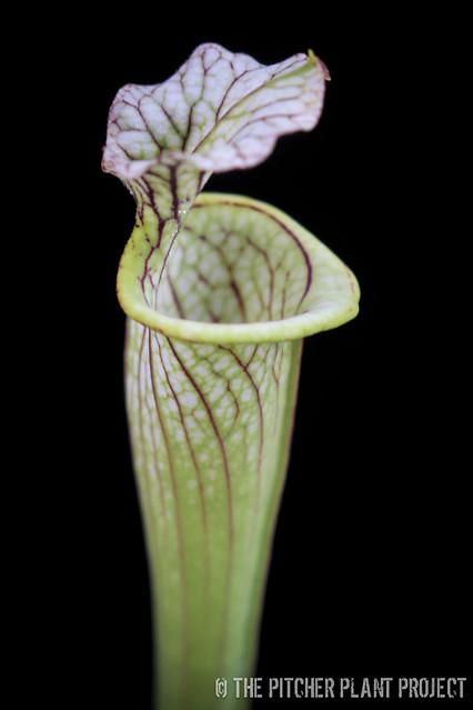 """Sarracenia leucophylla """"Juju Lips"""" x flava """"Widemouth"""""""