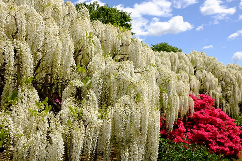 white wisteria & red azalea