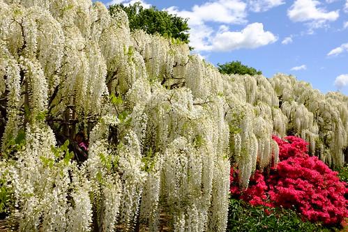 white wisteria & red azalea