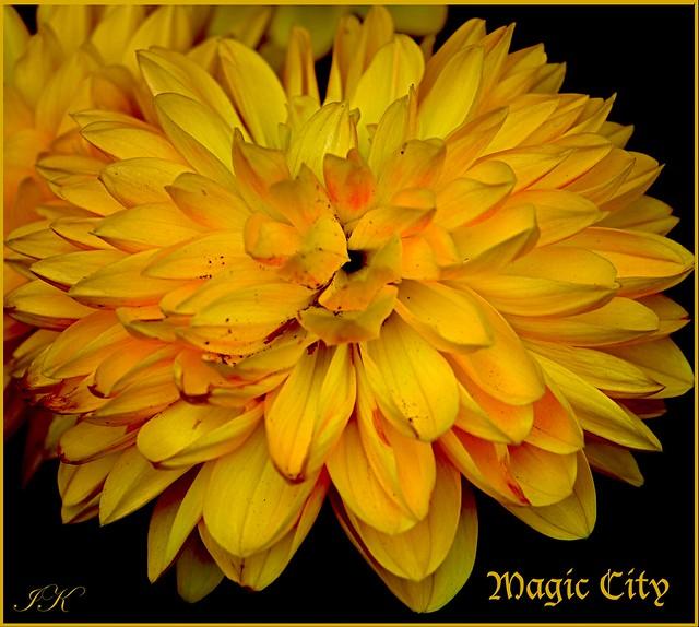 Yellow Dahlia Magic City