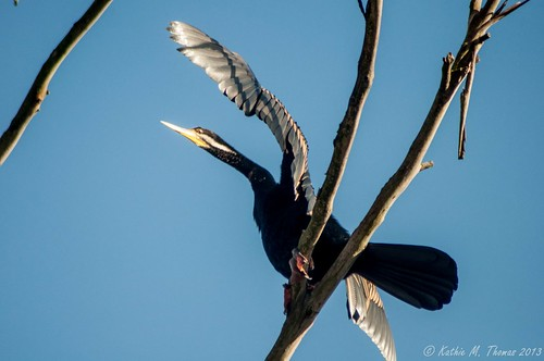 Australasian Darterbird
