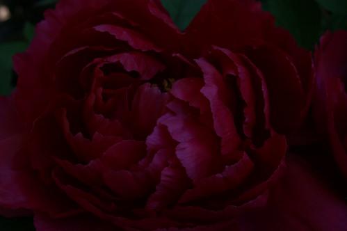 black peony flower