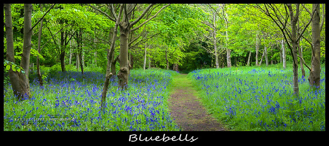 Bluebells .Speke Hall May 2013.