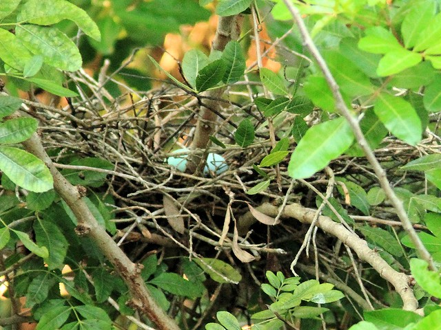 Green Heron nest 20-3 non-HT with eggs 20130525