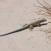 Little White Whiptail - Photo (c) Roger Shaw, some rights reserved (CC BY-NC-SA)