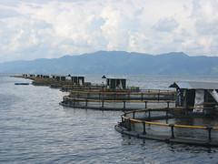 印尼吳郭魚養殖場。圖片提供:WWF分會, Aaron McNevin攝。