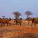Elephant Crossing – 2 by Roy Prasad
