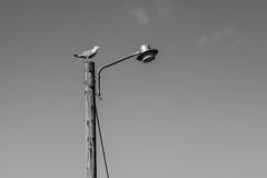 sea gull on lantern