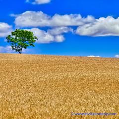 100 Days of Summer #77 - Waving Wheat