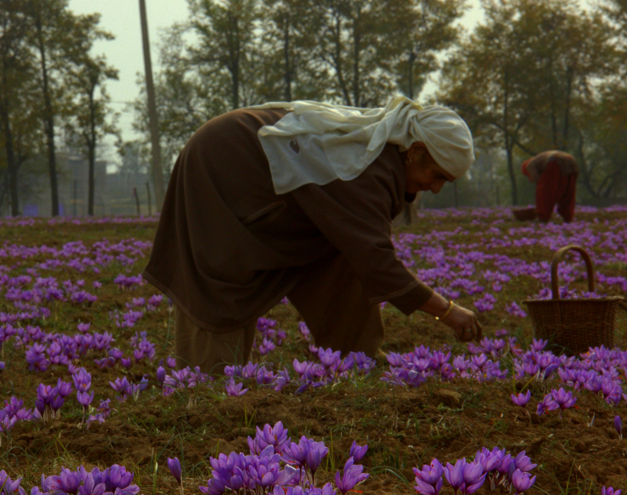 saffron cultivator in pampore