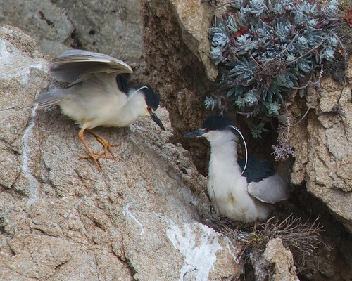 Nesting night herons