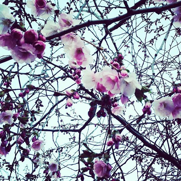 Nu har de första slagit ut! Våren är här! #kungsträdgården #cherryblossoms #cherrydate