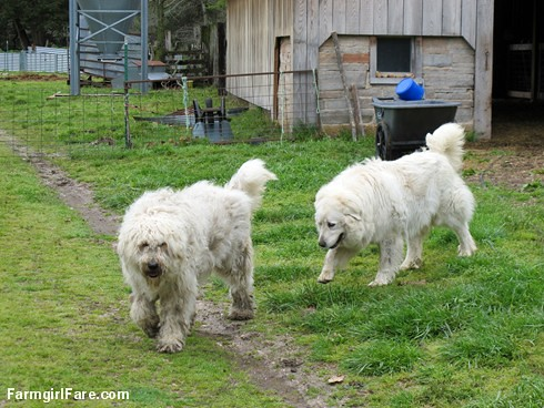 Sheep heading out to eat breakfast (5) - two livestock guard dogs are better than one - FarmgirlFare.com