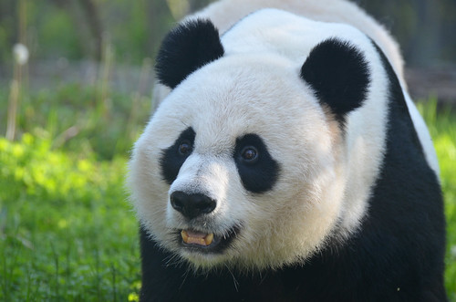 Mei Xiang Loves Her Bamboo Shoots (1 of 3)