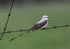 Scissor-tailed Flycatcher - Dresden Lock and Dam, Illinois