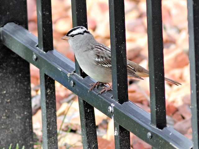 White-crowned Sparrow 5-20130505