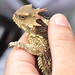 <p>This Coast Horned Lizard is not amused.<br /> <br /> Mt. Diablo State Park, California.</p>