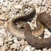 Lake Erie Water Snake - Photo (c) U.S. Fish and Wildlife Service Headquarters, some rights reserved (CC BY)