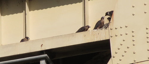 Four falcon chicks being fed by their mom - she's the one with the yellow eye/beak