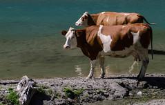 Mucche al lago
