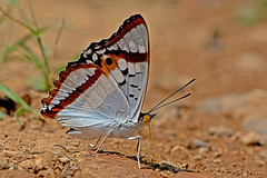 Mimathyma ambica - the Indian Purple Emperor (male)